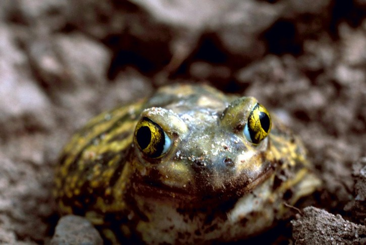 couchs-spadefoot-toad-frog-detailed_w725_h4851